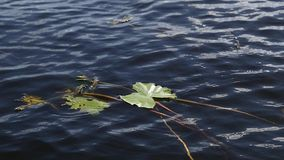 Water lily green leaves floating on river surface. Water lily leaves floating on surface stock video footage