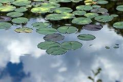 Water Lily Leaves op Meer Stock Afbeeldingen