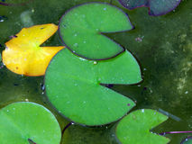 Water lily leaves. In the pond Royalty Free Stock Photography