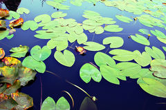 Water lily leaves Royalty Free Stock Photo