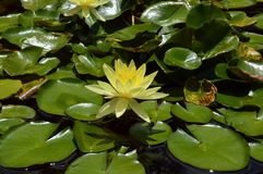 Water lily between leaves. A water lily rests on a quiet lake in the middle of the leaves Royalty Free Stock Photography