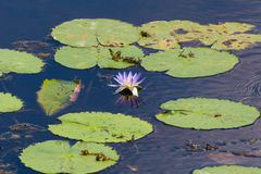Water lily with leaves Stock Image