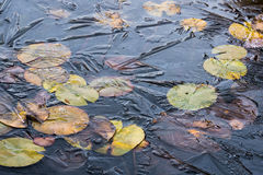 Water lily leaves under ice Royalty Free Stock Image