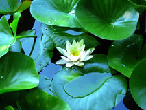 Water lily and lily pads. White water lily also know as Nymphaea Marliacea. Photo taken in the Botanical Garden of Cluj-Napoca, Romania Royalty Free Stock Photo