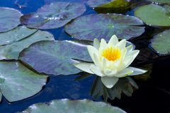 Water lily and lily pads. Water lily and reflection in shallow pond stock image