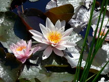 WATER LILY AND LILY PADS. White water lily with reflection and lily pads Stock Photo