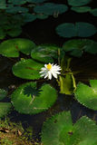 Water lily and lilypads Royalty Free Stock Images