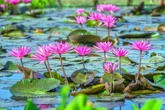 Water lily lined flower color presentation Royalty Free Stock Images