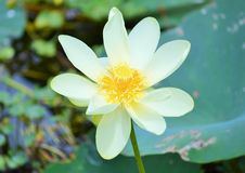 Water Lily. A water lily at a local lake Royalty Free Stock Photography