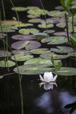 Water lily at Loch Garten in Scotland. Water lilies at Loch Garten in the Cairngorms national park of Scotland royalty free stock photo