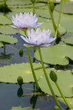 Water lily, lotus Royalty Free Stock Image