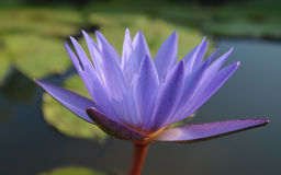 Water Lily Lotus Stock Afbeelding