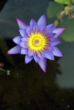 Water lily or lotus, aquatic plant of the genus Nymphaea Stock Image