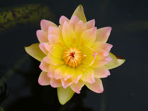 Water lily, lotus. Beautiful water lily in the garden Stock Photo