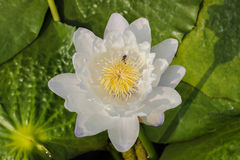 Water lily,Lotus and Bee. On nature background Royalty Free Stock Photo