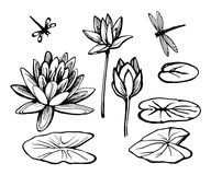 Water lily lotus and dragonfly. Flowers and leaves of the water lily lotus and dragonfly. Vector sketch set vector illustration