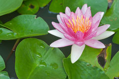 Water Lily or Lotus Flower Stock Photo