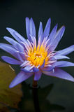 Water lily or Lotus flower Royalty Free Stock Photo