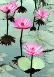 Water lily lotus flower Royalty Free Stock Photo