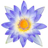 Water lily or lotus flower Stock Image