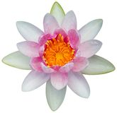 Water lily or lotus flower Royalty Free Stock Images