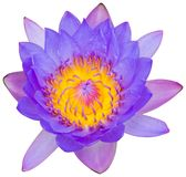 Water lily or lotus flower Stock Images