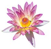Water lily or lotus flower Royalty Free Stock Image