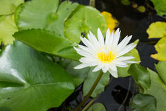 Water lily - Lotus flower and leaf lotus Royalty Free Stock Image