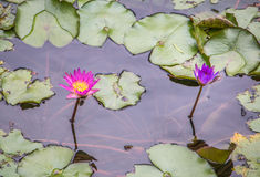 Water lily lotus flower in pond. Water lily lotus flower in the pond Royalty Free Stock Photo