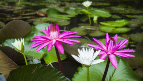 Water lily (lotus flowers). Water lily, a kind of lotus -- pink and white Stock Photos