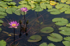 Water lily. Lotus in full bloom in the pond Stock Photos
