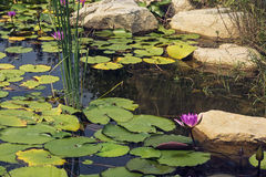 Water lily. Lotus in full bloom in the pond Royalty Free Stock Image