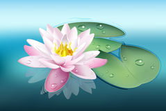 Water lily (lotus) Stock Photography