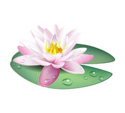 Water lily (lotus) Royalty Free Stock Image