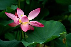 Water lily & lotus leaf. Water lily  lotus leaf summer Stock Images