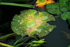 Water lily & lotus leaf Stock Images