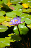 Water lily with lotus leaf on pond Stock Photos