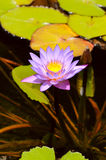 Water lily with lotus leaf on pond Royalty Free Stock Photo