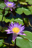 Water lily with lotus leaf on a pond Stock Photography