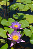 Water lily with lotus leaf on a pond Stock Photo