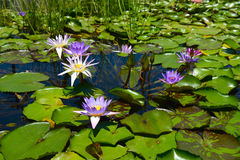 Water lily with lotus leaf on a pond Stock Photos
