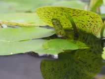 Water Lily (Lotus) Leaves Reflection In The Pond Royalty Free Stock Images