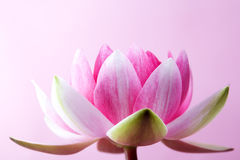 Water lily, lotus on pink Stock Photos