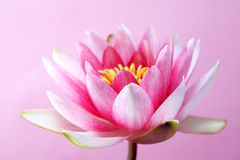 Water lily, lotus on pink Stock Photo