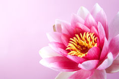 Water lily, lotus on pink Stock Images
