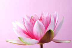 Water lily, lotus on pink Royalty Free Stock Images