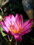 Water lily lotus. Pink thailand asia stock photo