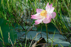 Water lily, Lotus. In the pond Stock Images
