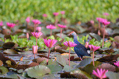 Water lily, Lotus. In the pond Royalty Free Stock Image