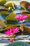 Water lily, Lotus. In the pond Stock Photography